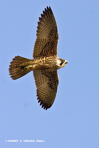 PRAIRIE FALCON ON THE WING
