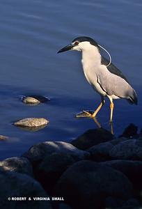 BLACK-CROWNED NIGHT-HERON HUNTING