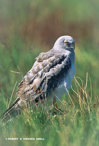 MALE HARRIER IN GRASSES