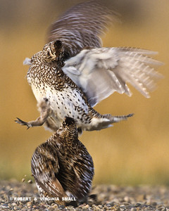 SHARP-TAILED GROUSE DISPLAY