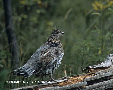 RUFFED GROUSE (Gray form)