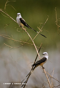 A PAIR OF SCISSOR-TAILED FLYCATCHERS