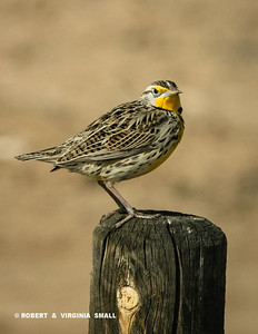 CAN'T START A DAY ON THE PAIRIE WITHOUT A BRIGHT GREETING BY A MEADOWLARK