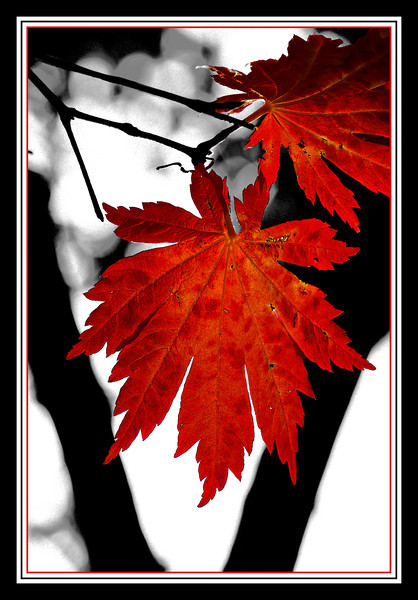 'Full Moon' Japanese maple, framed