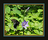 "D149-2012 Black Swallowtail Butterfly on Campanula  <br /> (The title is descriptive, and not meant as a proper ID of the lepidoptera)<br /> This butterfly flew into the shot just as I pressed the shutter.  The uncropped version, featuring the flowers, can be seen here <a href=""http://smu.gs/MzwSJ9"">http://smu.gs/MzwSJ9</a> in the Wildflowers of North America gallery.<br /> The frame picks up colors from the wings.<br /> <br /> Along the road through the woods, Hidden Lake Gardens, Michigan<br /> May 29, 2012<br /> (nex5n)"