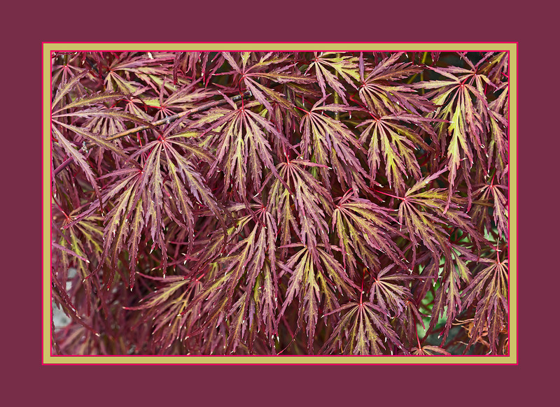 Japanese maple, all-over abstract pattern<br /> .<br /> Toledo Botanical Garden, Ohio<br /> July 8, 2012<br /> (nex5n)