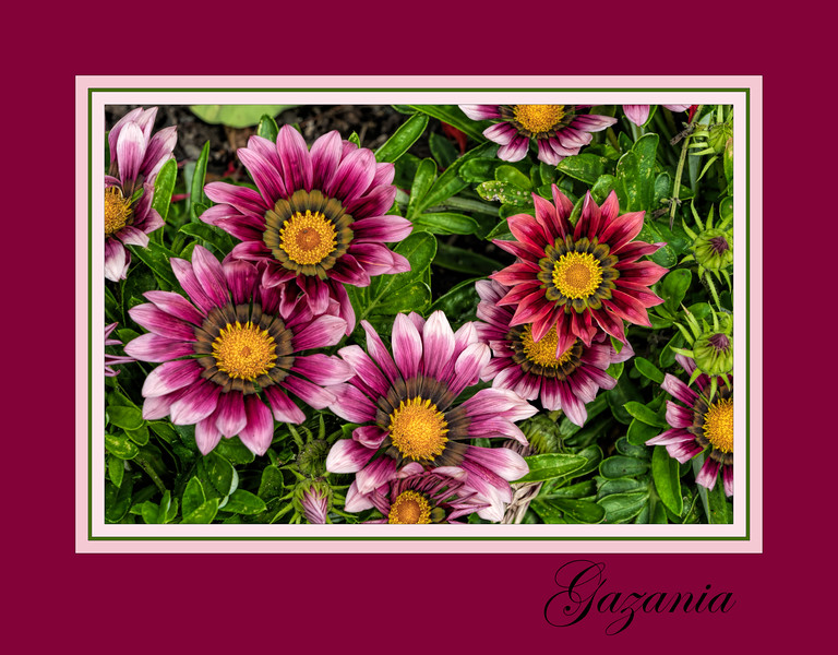 Framed version:  Gazanias - What's Not to Love?