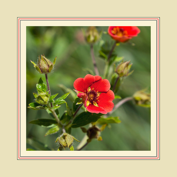 "Cropped, framed version.  For the uncropped, unframed 'original', see here:  <a href=""http://smu.gs/Sqajb1"">http://smu.gs/Sqajb1</a><br /> D189-2012 Gibson's Scarlet Cinquefoil, Potentilla x 'Gibson's Scarlet'.<br /> Family Rosaceae<br /> I significantly desaturated the reds in the central blossom in order to let the delicate pattern of veining in the petals show through.  In real life the blossoms are more vivid than seen here in this picture.<br /> .<br /> Toledo Botanical Garden, Ohio.<br /> July 8, 2012.<br /> (nex5n)"
