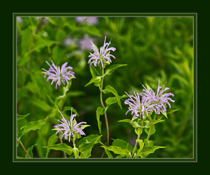 D189-2012 Wild Bergamot, Monarda fistulosa 01.<br /> Family Lamiaceae . . . Native to North America.<br /> Look closely at the bloom on the right.  You'll see it is sprinkled all over with yellow pollen.  Visiting insects must have spread it there.<br /> .<br /> Toledo Botanical Garden, Ohio.<br /> July 8, 2012.<br /> (nex5n)