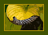The worm - er, leaf - has turned.<br /> <br /> Filter fun with a curled, dying hosta leaf.<br /> 1) The curl - in succession, Accented Edges, Levels, Ink Outlines, Poster Edges<br /> 2) The background - in succession, Cutout, Accented Edges<br /> <br /> See Image 26 in the Photography/Fun with Filters gallery for an unframed version of this image,<br /> <br /> October 5, 2011