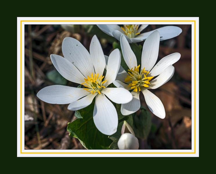 A springtime non pareil - bloodroot blossoms