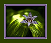 An unidentified late bloomer (probably a toad lily) on the Hosta Hillside.<br /> Filtration:  (1)  Flower - Accented Edges; (2) Leafy background - in succesion, Accented Edges, Cutout, Levels, Watercolor, Levels.<br /> <br /> See Image 27 in the Photography/Fun with Filters gallery for an unframed version of this image.<br /> <br /> Hidden Lake Gardens, Lenawee County, Michigan<br /> October 5, 2011