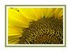"Framed version.  See the unframed version here:  <a href=""http://smu.gs/XDQJJZ"">http://smu.gs/XDQJJZ</a><br /> D240-2012 Detail of sunflower<br /> .<br /> Toledo Botanical Garden, Ohio.<br /> August 28, 2012"