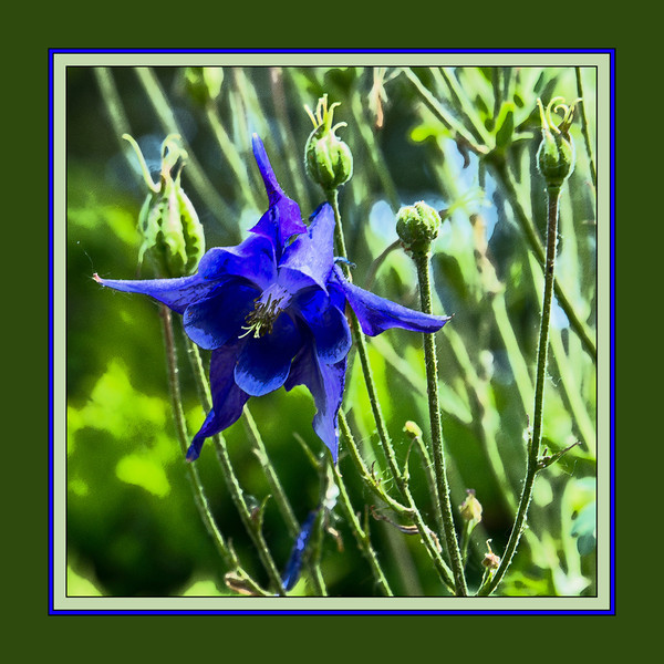 "D154-2012 Columbine (filtered)<br /> There is an unframed, filtered version here: <a href=""http://smu.gs/KiH9vF"">http://smu.gs/KiH9vF</a><br /> <br /> Toledo Botanical Garden, Ohio<br /> June 3, 2012<br /> (nex5n)"
