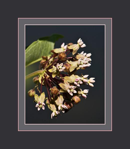 D154-2012 Milkweed<br /> Genus Asclepias     Probable speces A. syriaca (Common milkweed)<br /> Family Apocynaceae (dogbane family)<br /> <br /> Crosby Lake, Toledo Botanical Garden, Ohio<br /> June 3, 2012<br /> (nex5n)