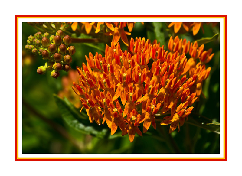 D154-2012 Butterfly weed (Asclepias tuberosa)<br /> A native wildflower, but commonly cultivated, both for its beauty, hardiness, and overall good behavior.<br /> In this large bed, some clusters of flowers were fully opened, while others were still in tight green buds.<br /> <br /> Toledo Botanical Garden, Ohio<br /> June 3, 2012<br /> (nex5n)