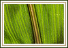 Leaf detail, field corn - framed version