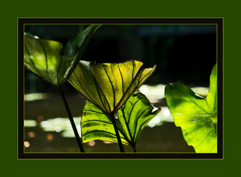 """D178-2012 Aquatic foliage plant, unidentified (framed version)<br /> Growing in the Gazebo Pond<br /> The unframed version is here:  <a href=""""http://smu.gs/OcTygc"""">http://smu.gs/OcTygc</a><br /> <br /> Toledo Botanical Garden, Ohio<br /> June 27, 2012<br /> (nex5n)"""