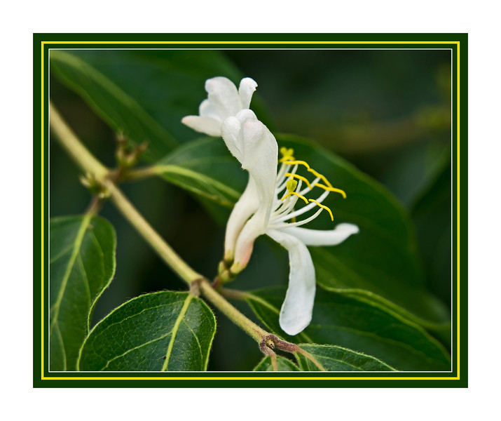 Honeysuckle, white