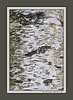 Bark detail, paper birch.<br /> <br /> Grove, Hidden Lake Gardens, Tipton, Michigan<br /> September 21, 2011