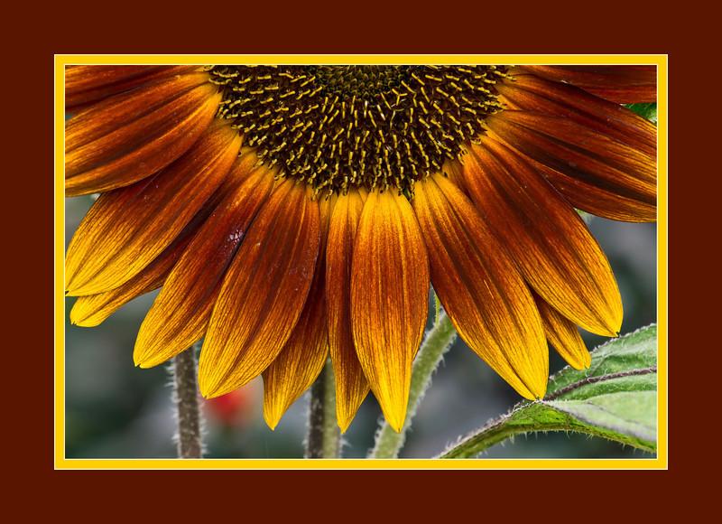 "D207-2012 Framed Version.  Sunflowers - ""Setting Sun""<br /> The unframed version is in the 2012 Gardens gallery, here:  <a href=""http://smu.gs/PiLtbs"">http://smu.gs/PiLtbs</a><br /> .<br /> Matthaei Botanical Gardens, Ann Arbor, Michigan<br /> July 26, 2012<br /> (nex5n)"