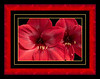 Amaryllis - framed version