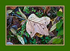 "Willow, oak, and birch leaves, along with green ground plants, provide a bed for a tulip tree leaf, which is in turn decorated with needles from (probably) bald cypress.<br /> <br /> See an unframed version of this photo in the Cyber Arboretum/Family Magnoliaceae... gallery, here.  <a href=""http://arctangent.smugmug.com/Nature/Cyber-Arboretum/Magnolia-Trees-Plus-Related/20031485_fgbdxz"">http://arctangent.smugmug.com/Nature/Cyber-Arboretum/Magnolia-Trees-Plus-Related/20031485_fgbdxz</a>"