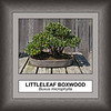 Littleleaf Boxwood bonsai