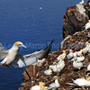 Gannets on the Bass Rock, East Lothian.