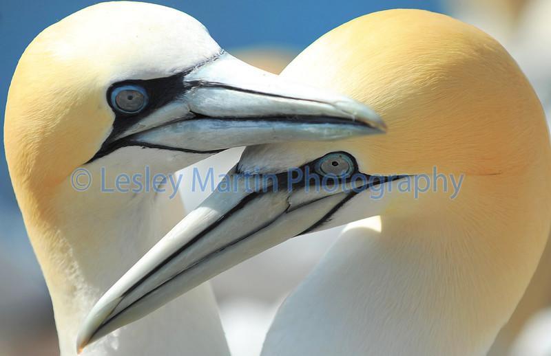Gannets - The Bass Rock
