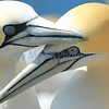 Gannets - The Bass Rock