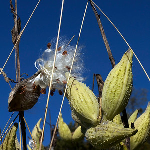 Milkweed Pods at Wachusett Meadow