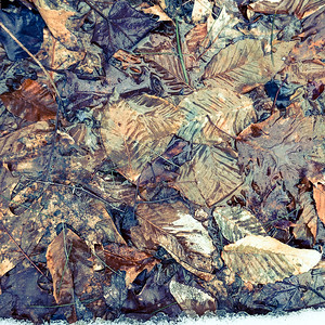 Frozen Leaves at Echo Lake