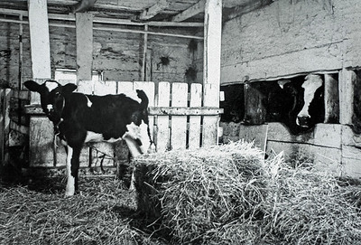 Calf and Cow in Barn at Stimson Farm