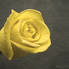 11 x 14<br /> <br /> Yellow Rose