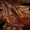 10 x 15<br /> <br /> Leaves