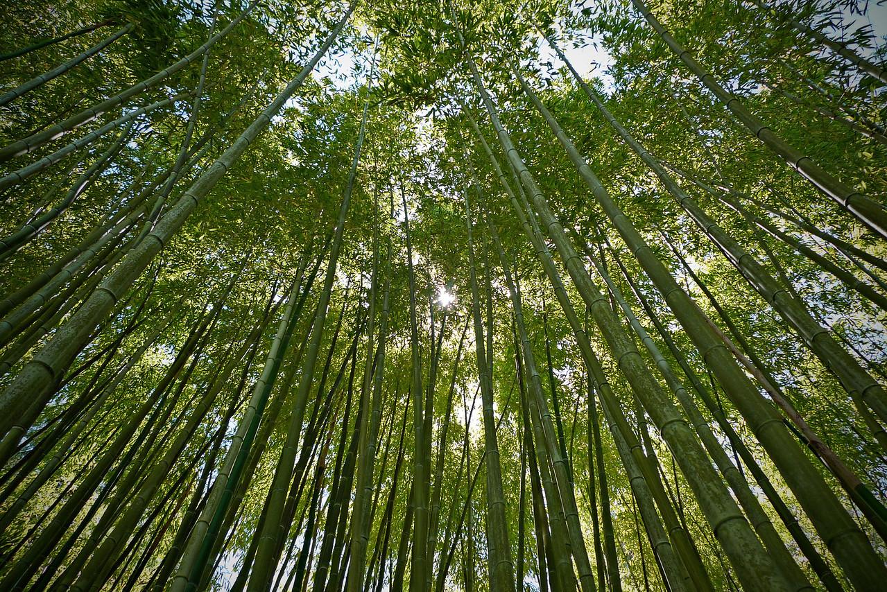 Towering bamboo in Hakone Garden, Saratoga, CA