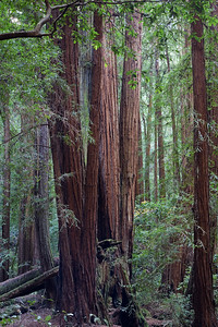 Redwood Grove Muir Woods, CA