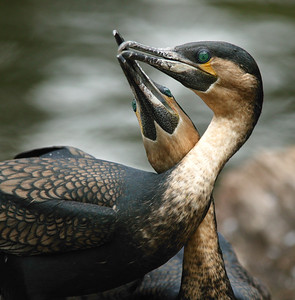 Kissing Cormorants