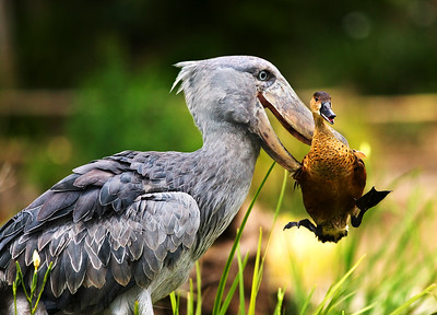 Let Me Go This is an African Shoebill  who had picked up a duck who had crossed his path. He was not harmed.