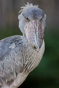 Looking at You African Shoebill