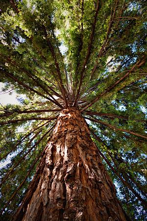 Redwood tree at Hakone Garden in Saratoga