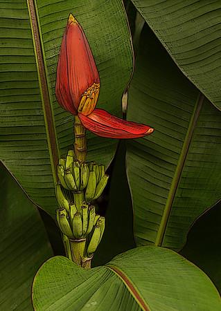 Banana Plant - Hawaii