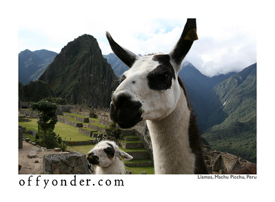 MACHU PICCHU, PERU - A curious llama and her cria (baby llama) come over to check me out.
