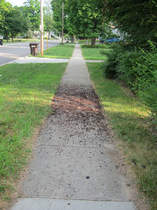 Week 27 - One of the sidewalks I often used has become a mess because of lot of berries that are dropping off a tree and onto the cement.