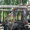 Reindeer meat drying in the sun at an Evenk camp in the taiga of Amur. (8.7.2011)