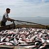 Salmon catch. (Cape Nuklya, Russian Far East) (мысе Нюкля, Магаданская область)