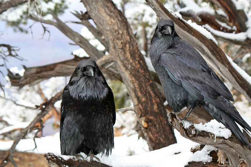 Ravens in the snow.<br /> <br /> Again, thanks for your comments on yesterday's canyon shot. Yes, it was very special seeing the canyon in the snow. Hope your week starts off right. (SG)