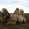 I'm posting rather late today & it's not a new shot, but had to post something in order to say thanks to everyone for all your comments on yesterday's church. It was an honor to be the #1 post amongst so many fabulous shots. This camel was shot on the steppe in Kalmykia, Russia. (11.30.2011)<br /> <br /> What do you think about these spam advertising comments of late? I wrote SM & they gave their usual, 'turn on comment approval' answer. I'm really surprised they're letting this kind of spam go through... Hope you're having a good day.