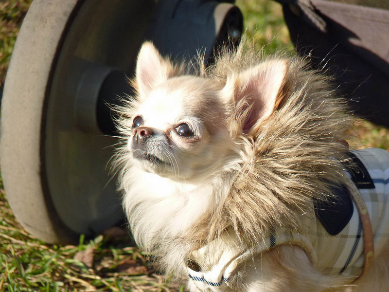 Funny little Chihuahua decked out in his fur-collared fake Burberry. (RS)
